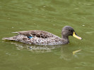 Yellow-Billed Duck (Slimbridge June 2011)